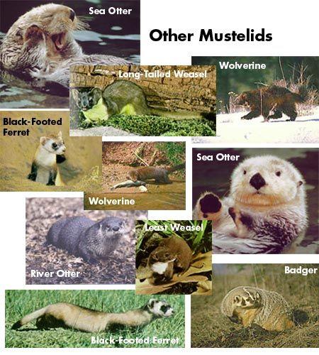 Other Mustelids Weasel Ferret Badger Otter Skunk Marten A