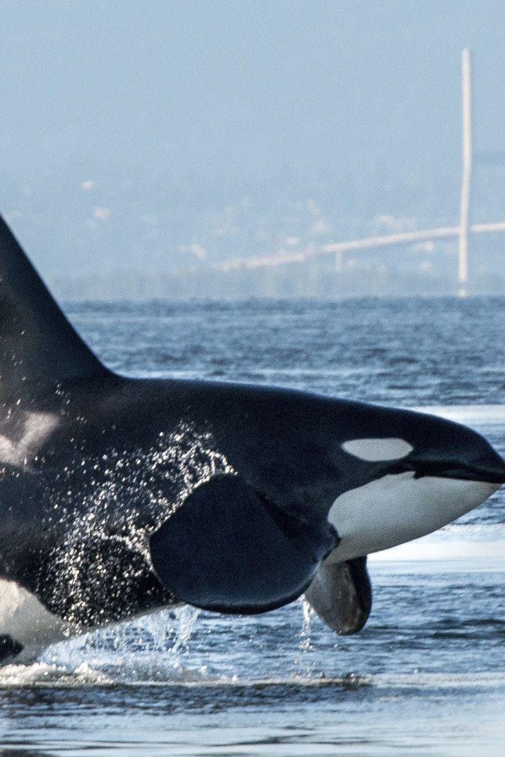 33291e83f51 Newborn Orca 'Baby Boom' Depends Upon Our Breaching Deadbeat Dams ...