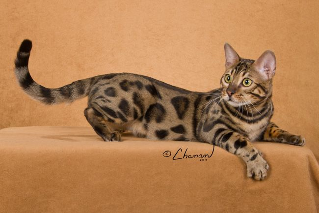 Savannah Bengal Cat Queens Boydsbengals Cats Cats Bengal