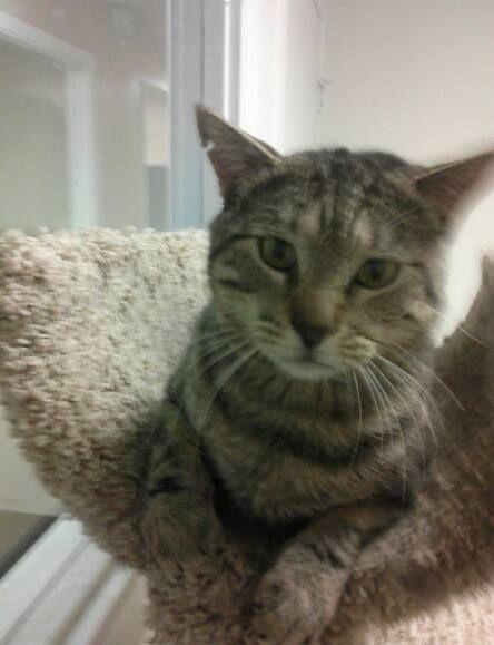 Bartley Lostourhome Org Tempe Az Share Pets Cats Cat Adoption Pets