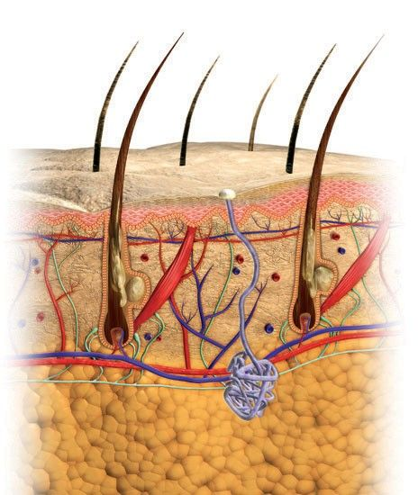 This system, skin, is the largest organ in the body. Besides skin, it is the hair and nails as well, appendages of the body.