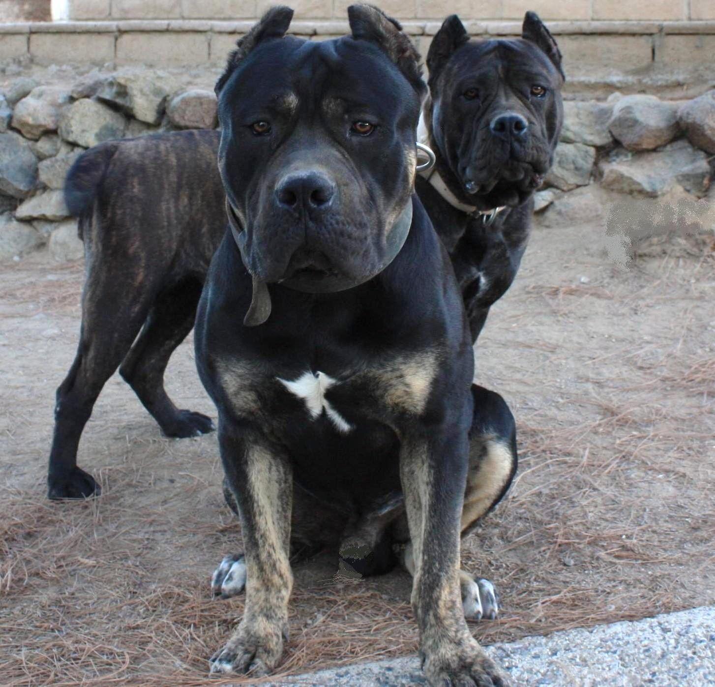 WOW beautiful Ambullneo Mastiff Dogs! www ambullneo net