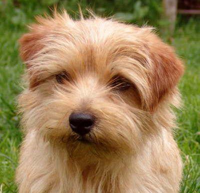 Cute Norfolk Terrier Norfolk Terrier Puppies Norfolk Terrier