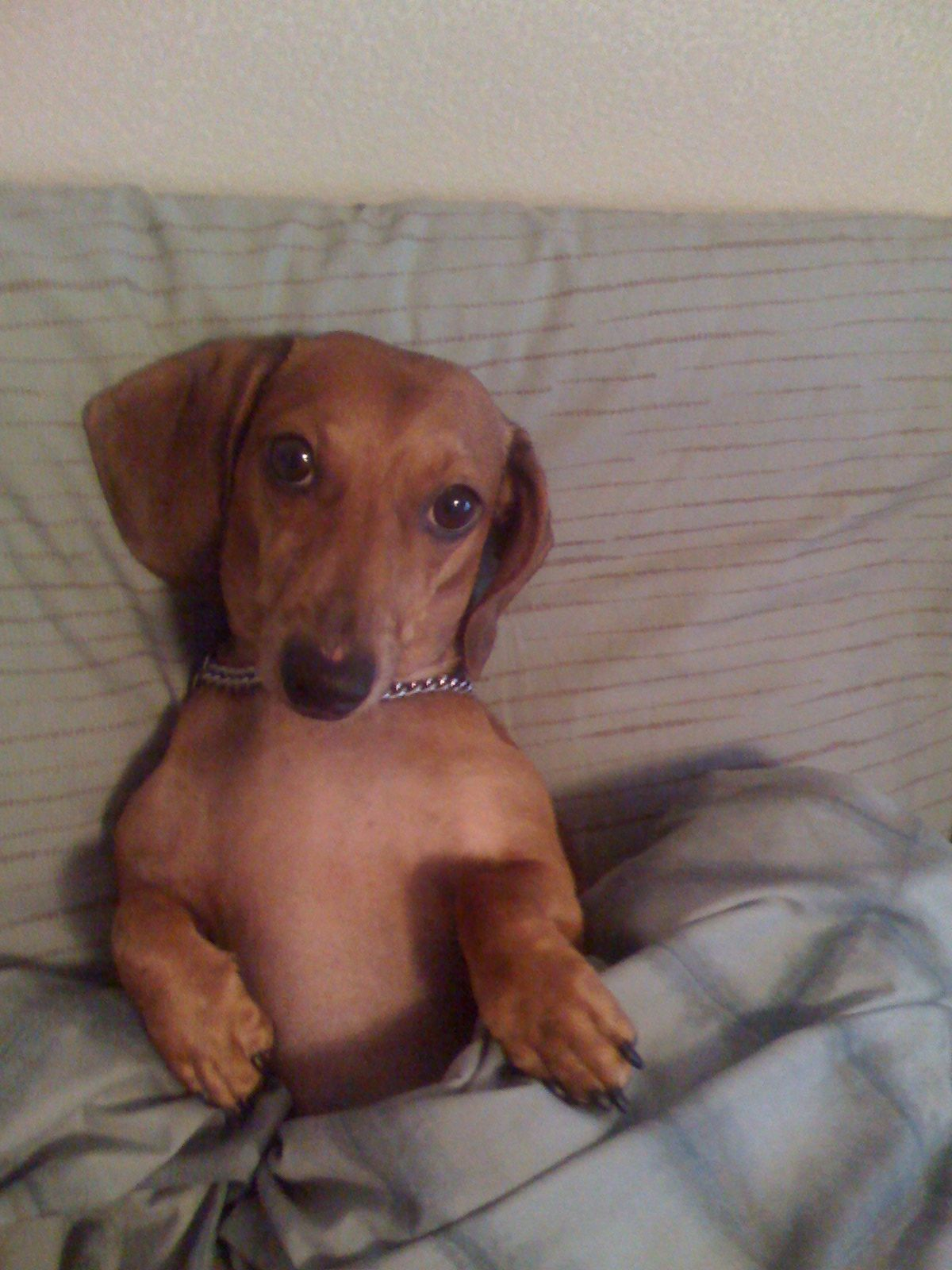 Weiner Dogs Bing Images Dachshunds Dogs Doxie Puppies Dogs
