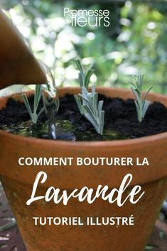 comment bouturer la lavande tutoriel illustr jardin. Black Bedroom Furniture Sets. Home Design Ideas