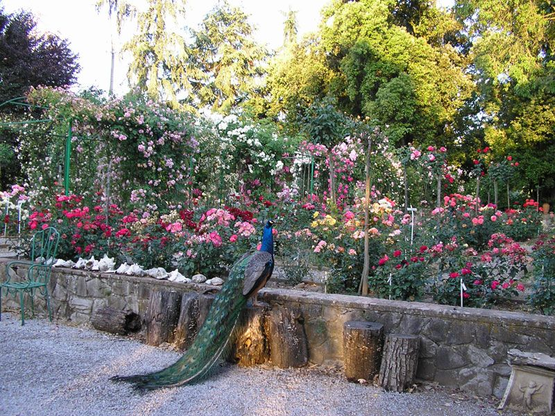 Most Beautiful Rose Gardens In The World the cavriglia rose garden in italy is the largest privately owned