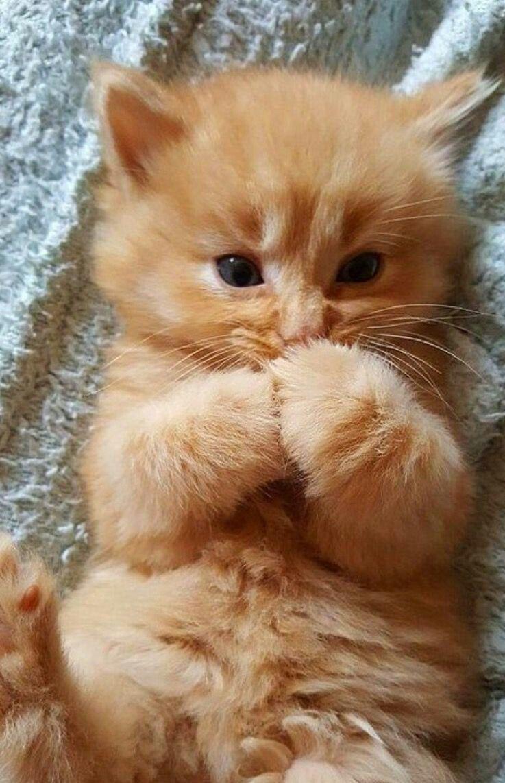 What An Adorable Little Orange Kitten I Would Call This Fluffball Little Pumpkin And Maybe Lumpkin For Short