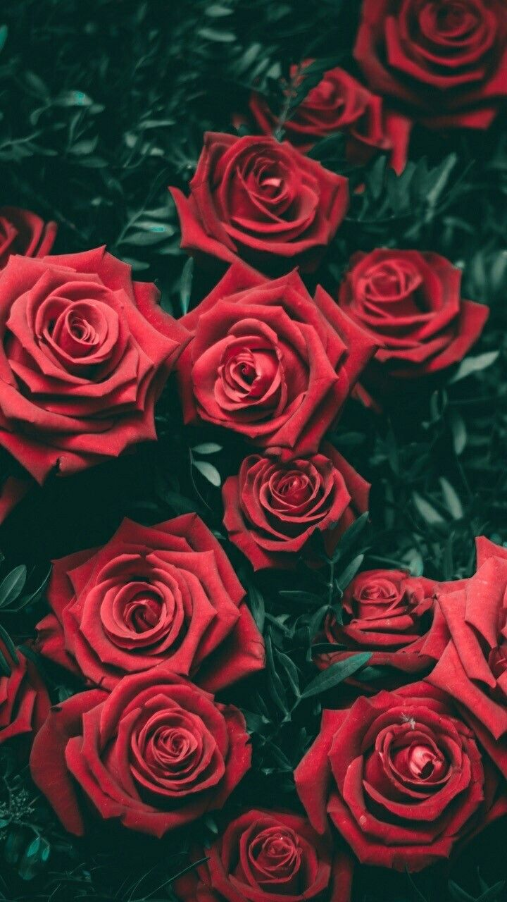 A Bed Of Red Roses Wallpaper Backgrounds Rose Tumblr Screen