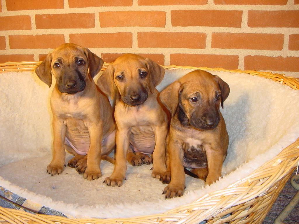 Rhodesian Ridgeback Pictures Puppies Cute Baby Animals