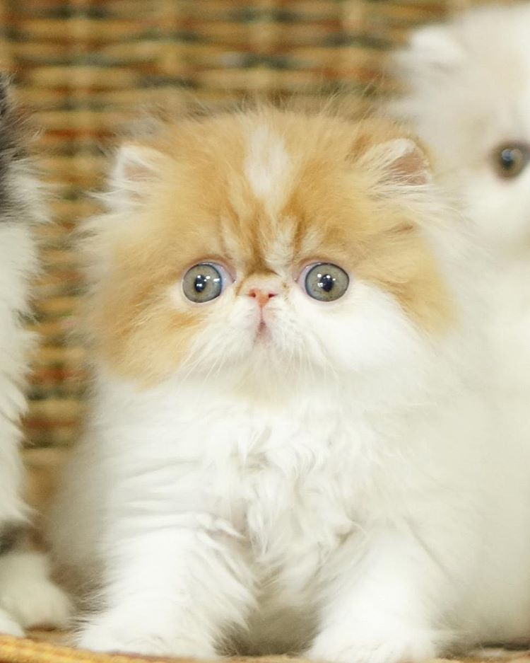 Persian Cat: 20+ Most Popular Long Haired Cat Breeds