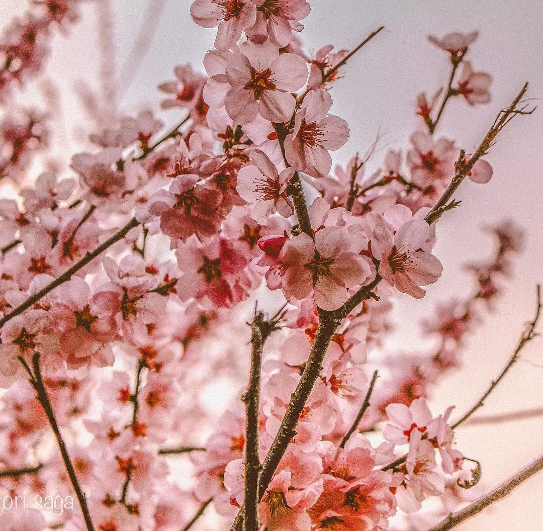 Shilpa Bala On Instagram Hello Spring Spring Has Sprung In Melbourne But These Beautiful Blooming Cherry Blosso Blossom Trees Cherry Blossom Tree Bloom