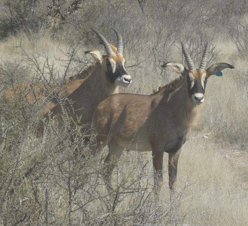 Roan Antelope At Shelanti Game Reserve, Limpopo, South