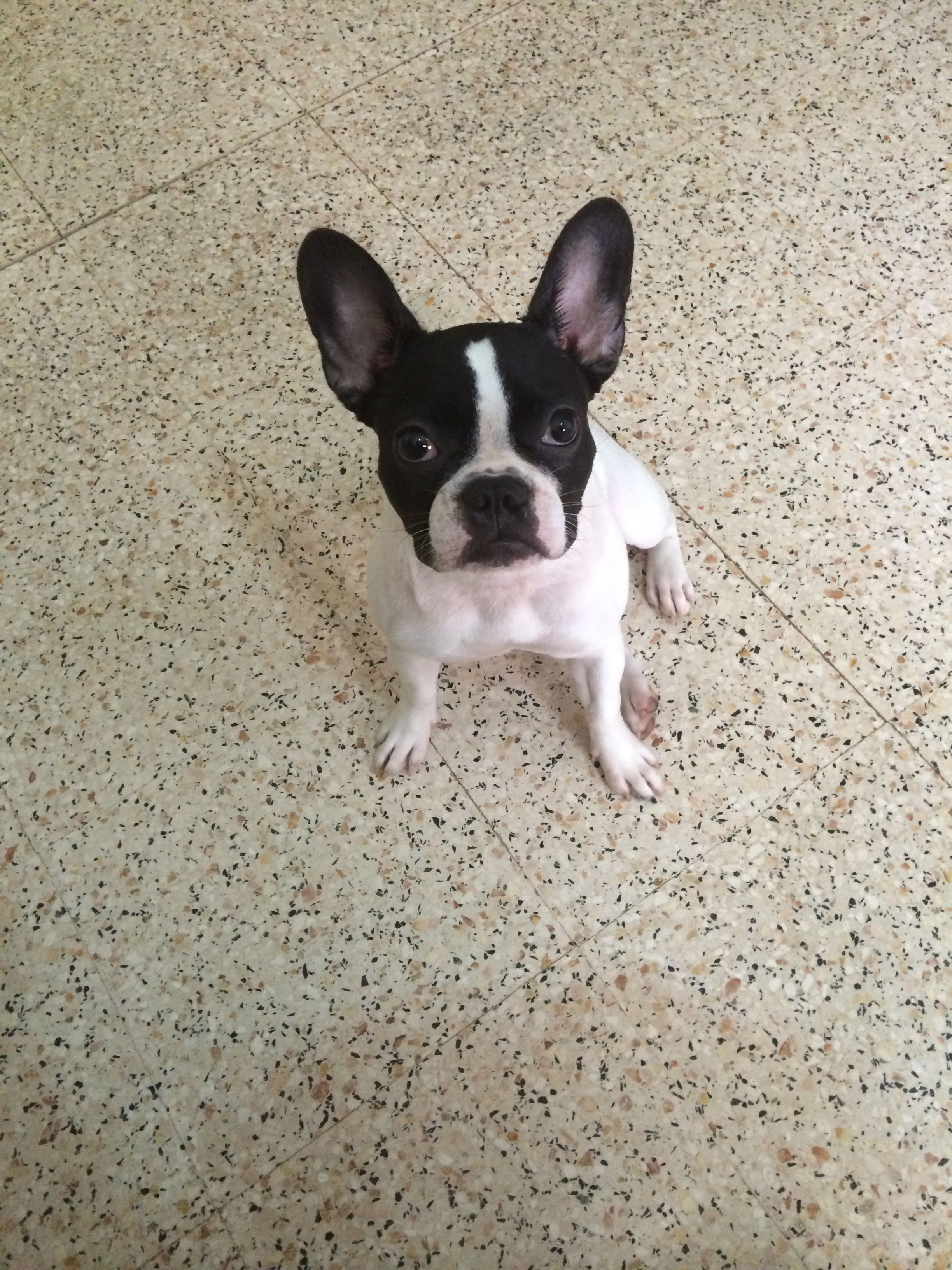 Laila The Frenchie 7 Months Bulldog Puppies French Bulldog