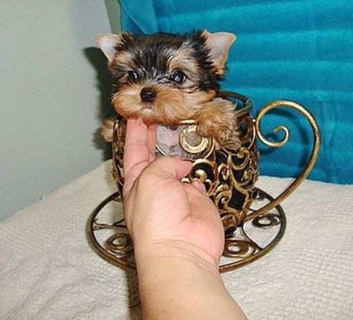 Male & Female Cheap Yorkie Puppies for sale in USA