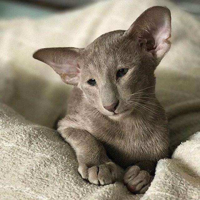Oriental Sex Kitten