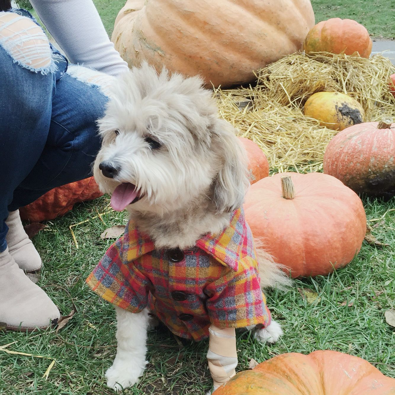 Flannel shirts for dogs  Fall Pumpkin Patch  Dog Plaid Flannel Shirt by Dog Threads