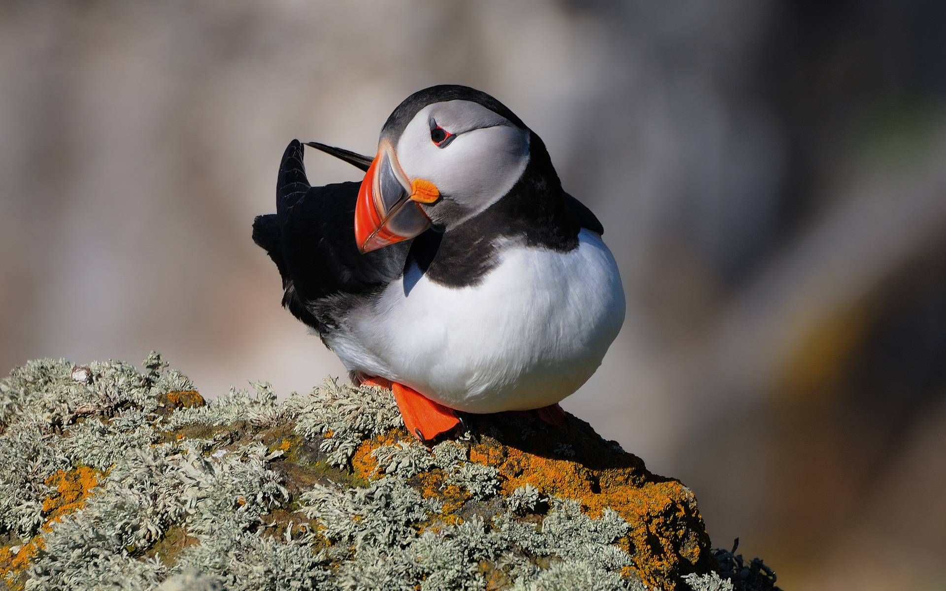 puffin flyers and water world pinterest beautiful birds