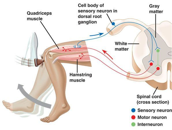 explain what occurs during the reflex arc