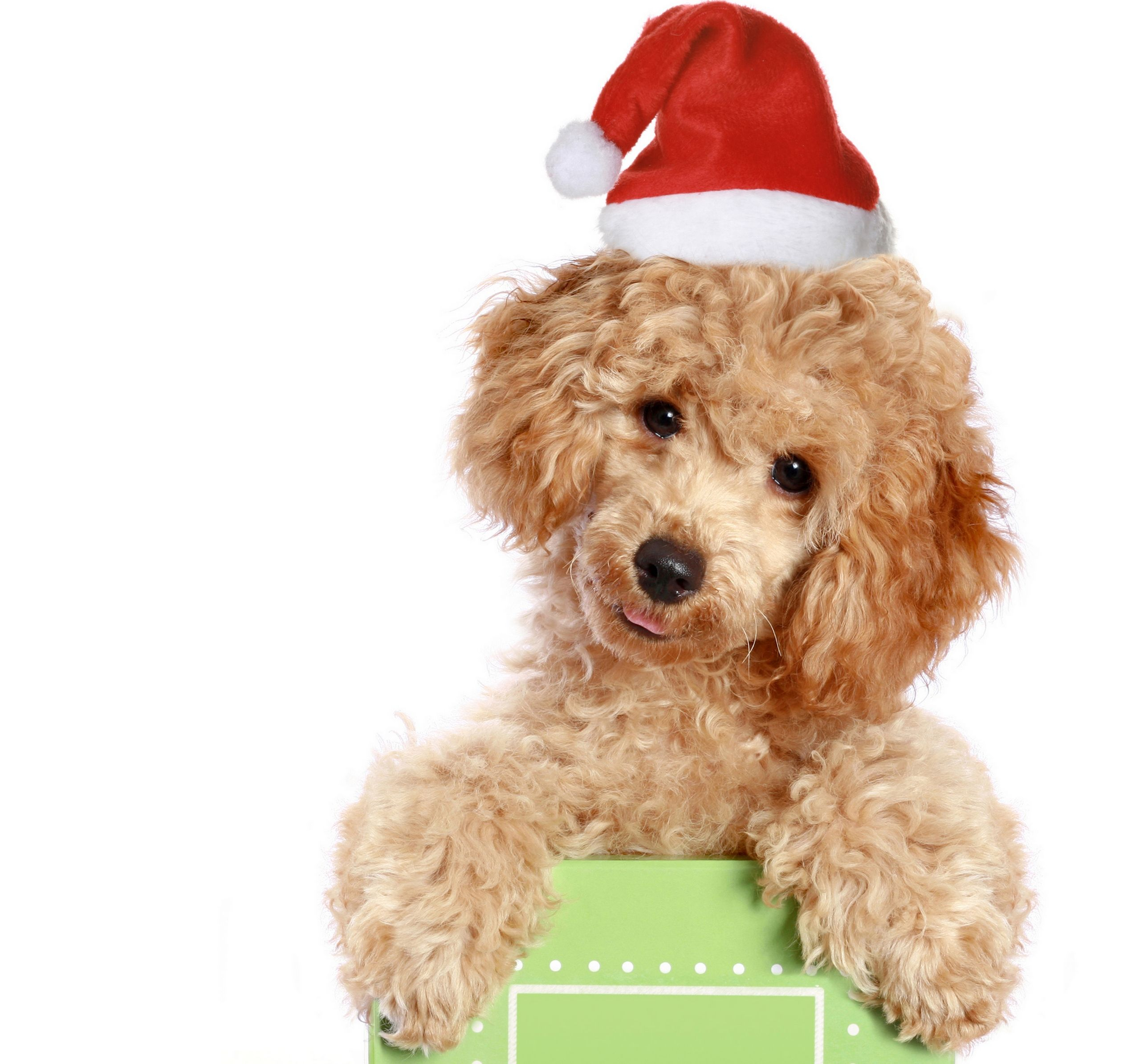 santa hat on cute dog Christmas dog, Christmas animals