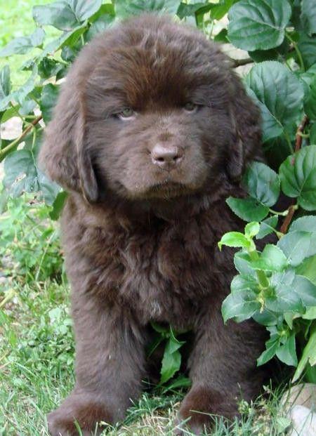 Newfoundland Newfoundland Puppies Amazing Animal Pictures Landseer Dog