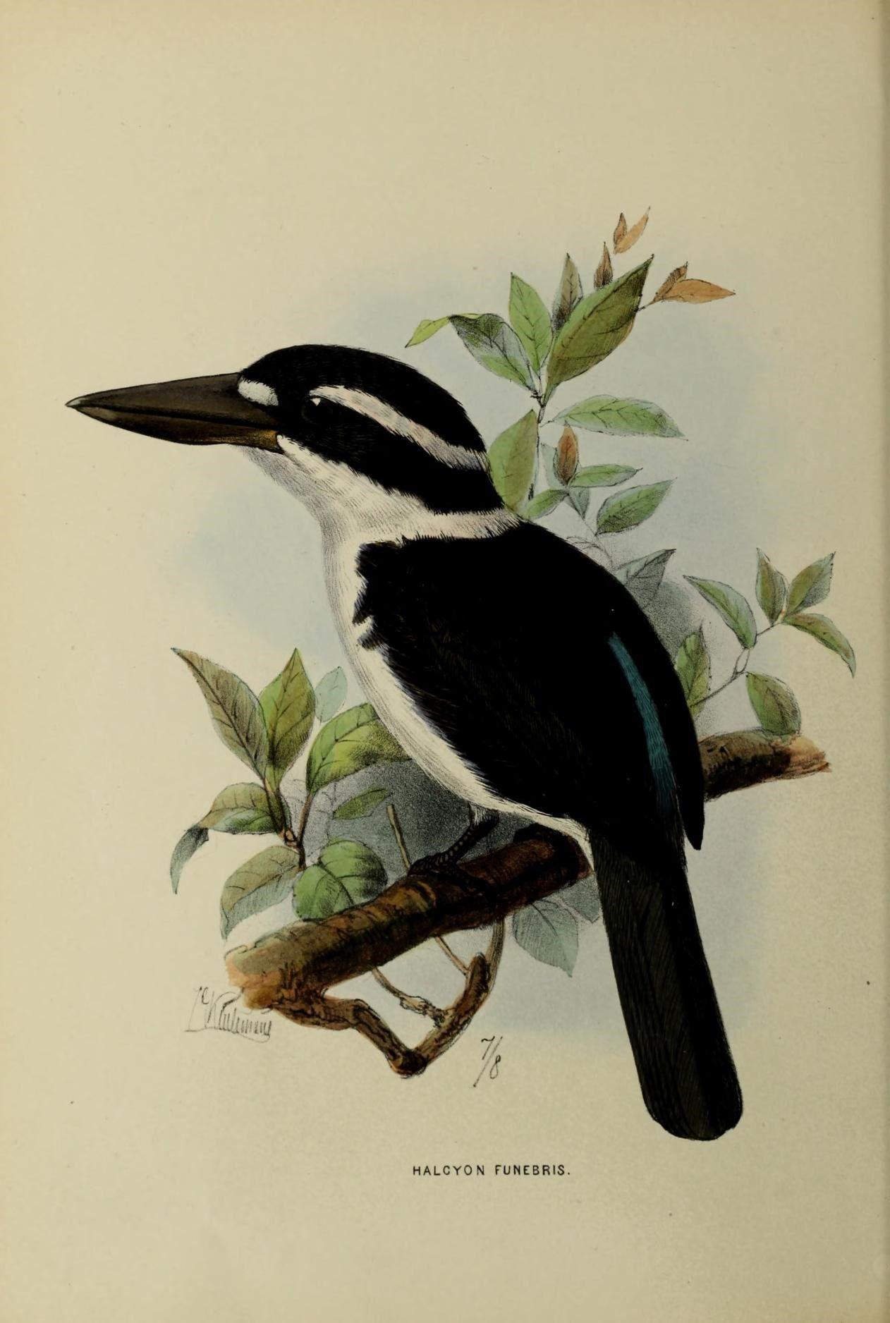 1119. Sombre Kingfisher (Todiramphus funebris) endemic