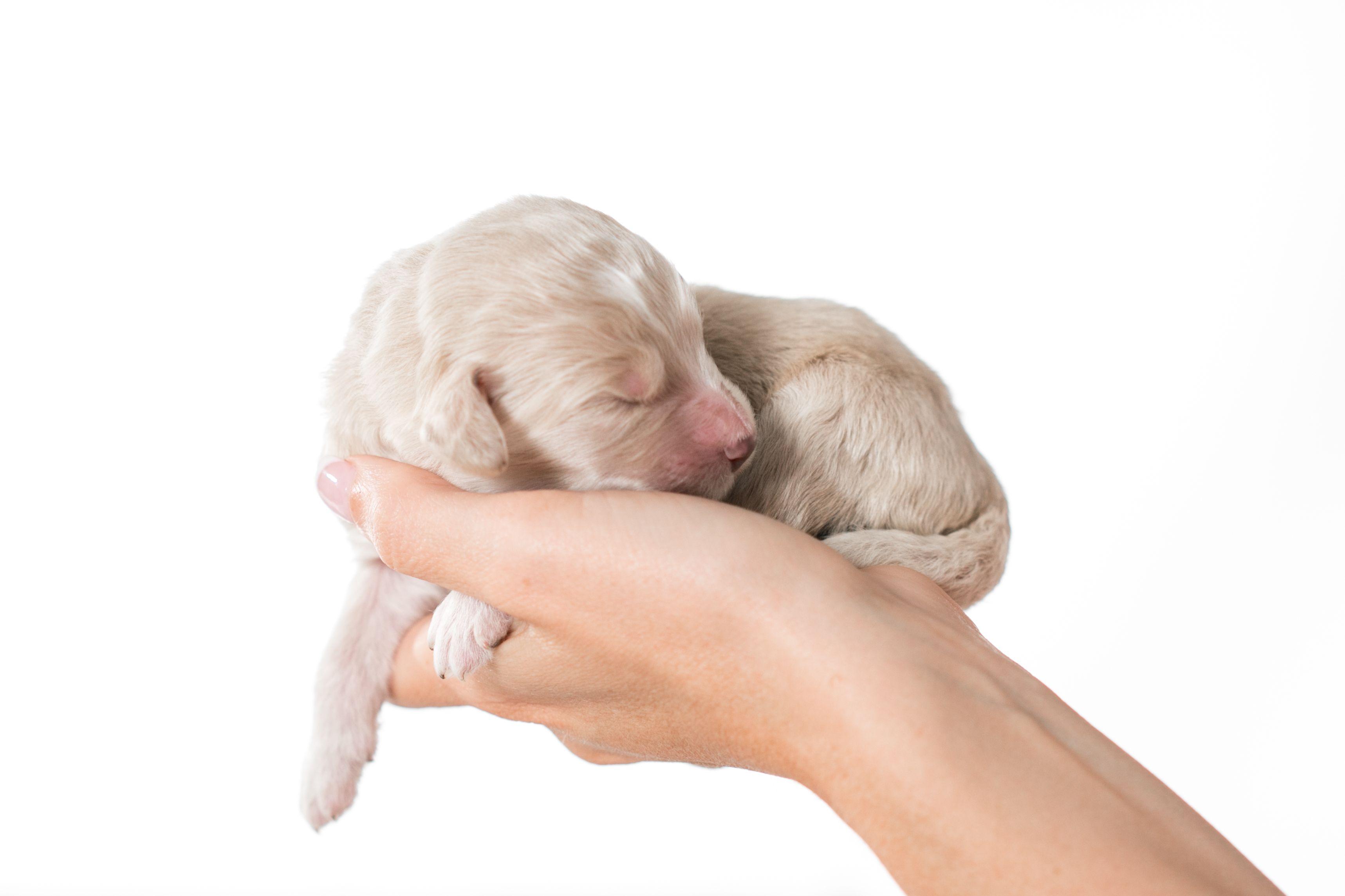 Blonde Bernedoodle Bernedoodle Bernedoodle Puppy Goldendoodle