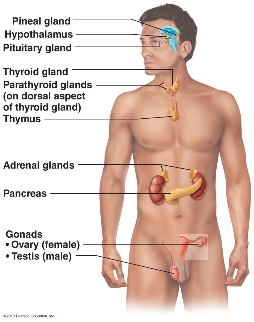 The Endocrine System | Biology/Anatomy | Pinterest