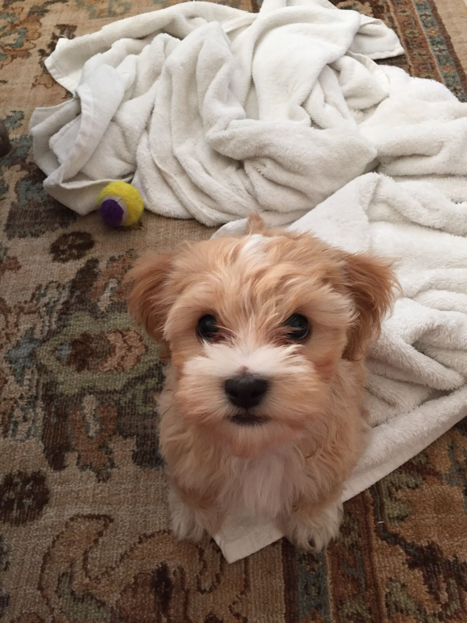 Charlie The Puppy After His First Bath 12 Weeks Old Maltipoo
