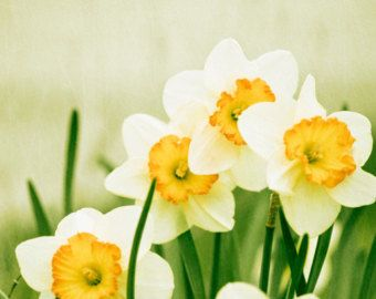 Flower Photography - yellow green photo spring daffodil wall art prints nature photography color white - 5x7 Photograph, A Fresh Start