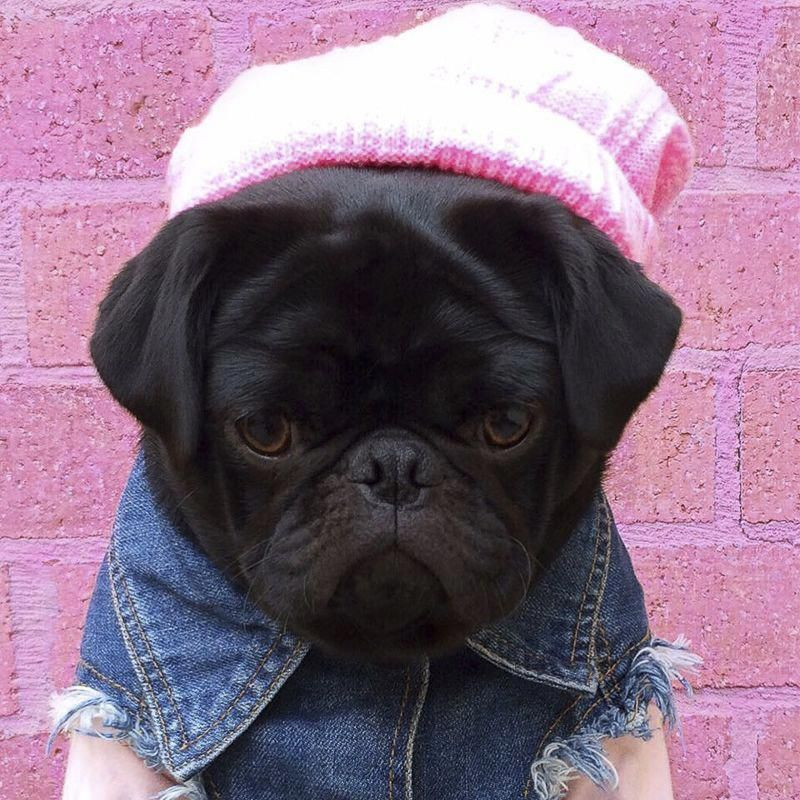 Am I Pretty With Images Socializing Dogs Pugs Funny Pugs