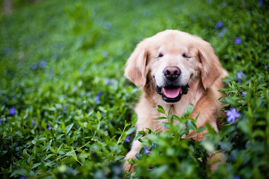 Smiley The Golden Retriever By Happy Tails Pet Photography