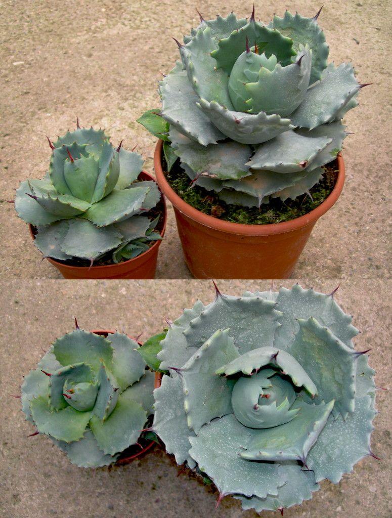 Fotos viveros vangarden agave potatorum verschaffeltii for Vivero de plantas exoticas