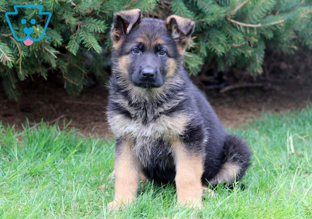 Magenta German Shepherd Puppies Shepherd Puppies Puppies For Sale