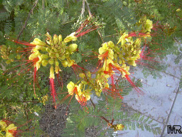 bird of paradise shrub julie has this in her e tx garden flora pinterest shrub flora. Black Bedroom Furniture Sets. Home Design Ideas