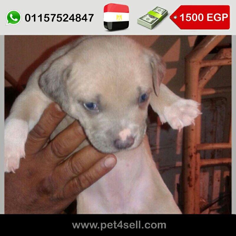 مصر الجيزة جرو نتاية بيتبول شهرين اب و ام ممتازين تقليب ممتاز البيع لعدم التفرغ السعر ١٥٠٠ الرقم ٠١١٥٧٥٢٤٨٤٧ Pet4sell Dogs Animals