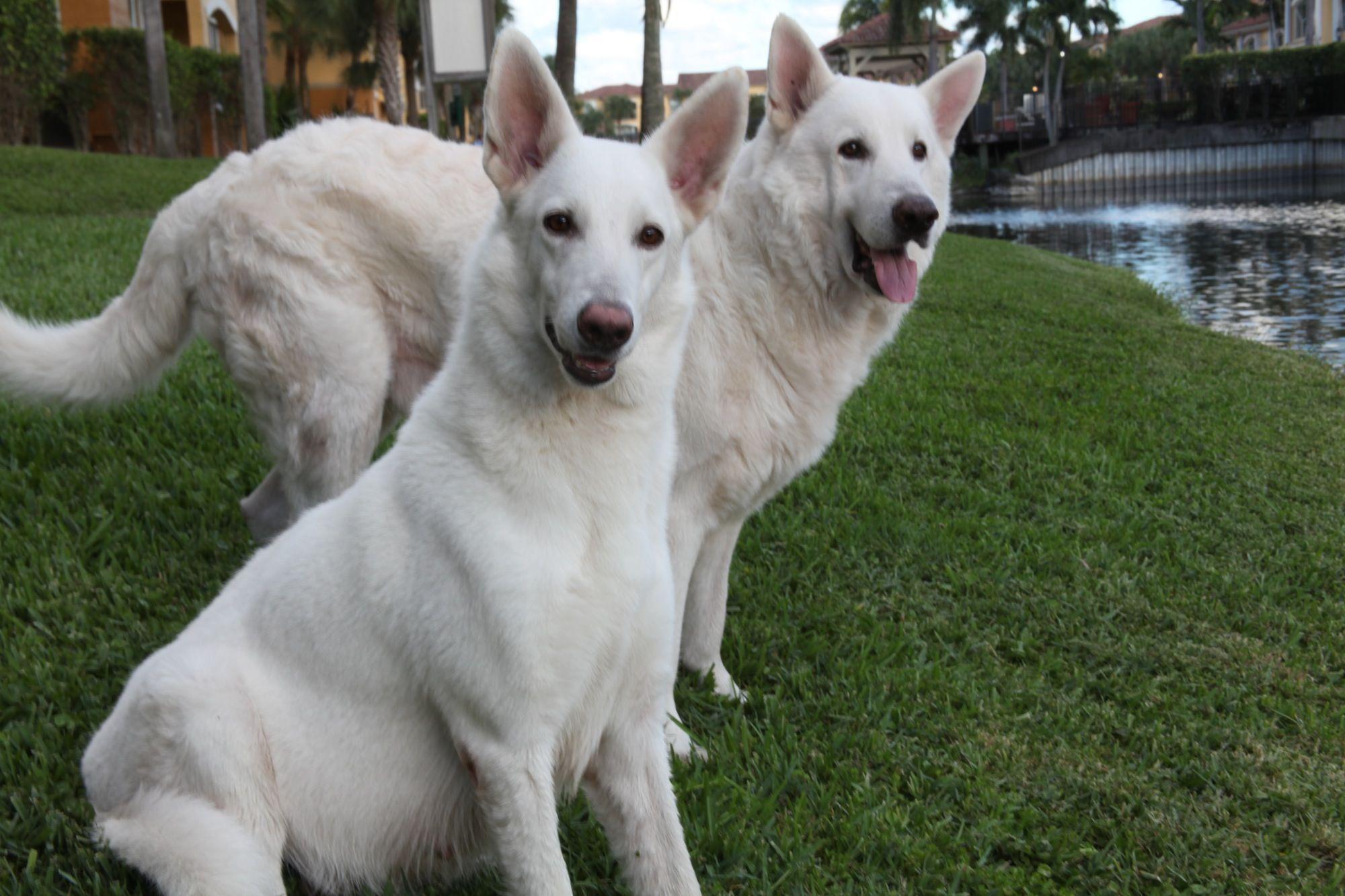 White german shepherd puppies florida