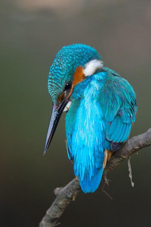 Earthandanimals Jewel Of The Stream By Corne Van Oosterhout Beautiful Birds Nature Birds Kingfisher