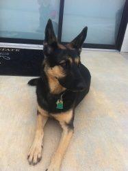 Adopt Lola Aka Duchess On Pup Patrol Shepherd Dog German