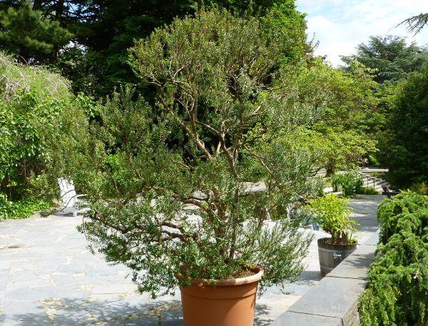 Outdoorküche Napoleon Wikipedia : Myrtus communis garten pinterest gärten