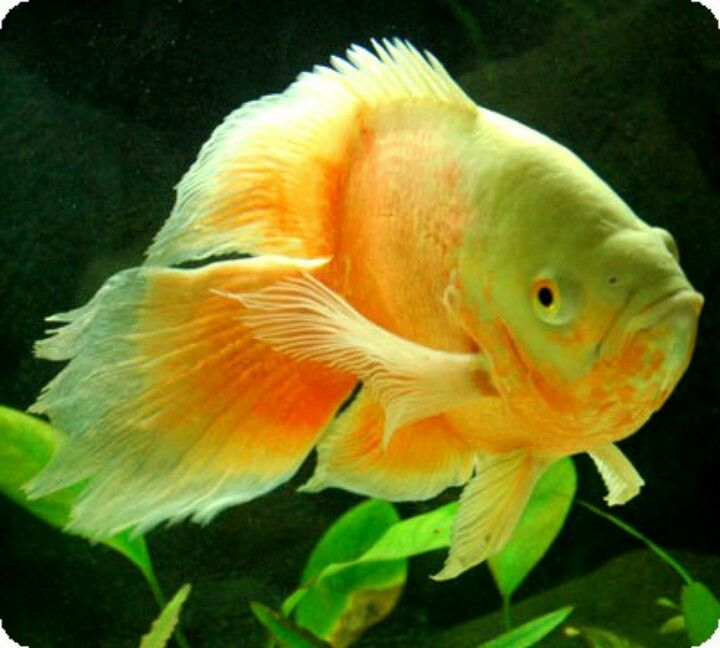 Long Fin Oscar Oscar Fish Betta Fish Types Cichlids
