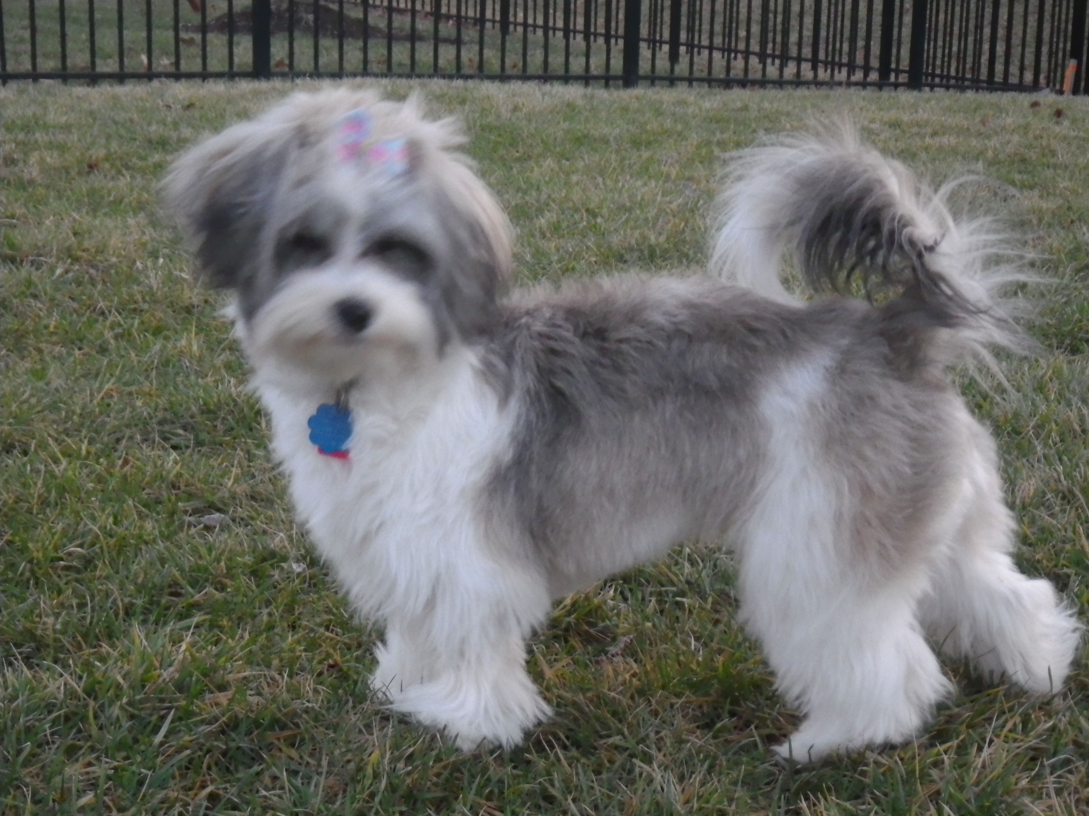 Showing off for the cameras. Dog haircuts, Havanese dogs