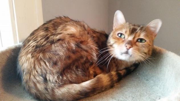 Adopt Siggi Mn On Petfinder Cat Adoption Bengal Cat Cats