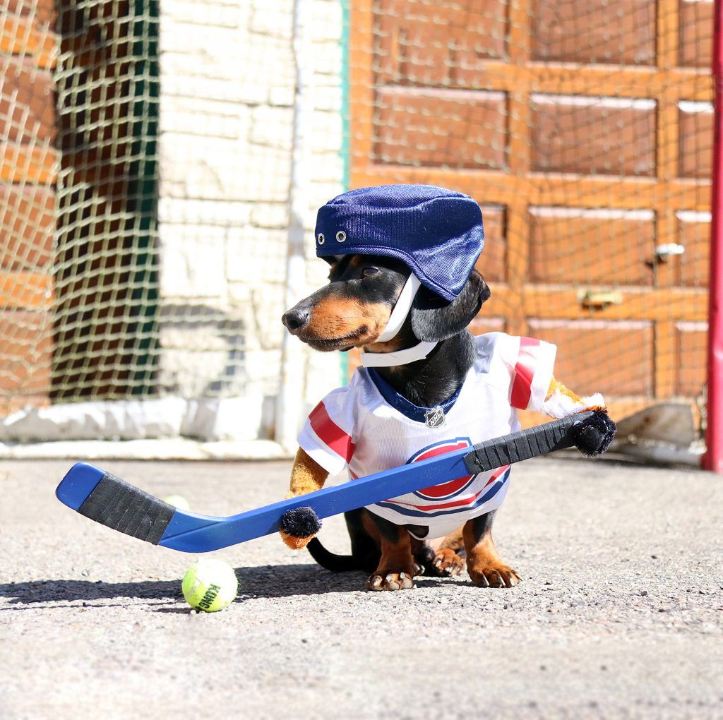 Dog Hockey Costume With Stick Crusoe The Celebrity Dachshund Funny Dachshund Dachshund
