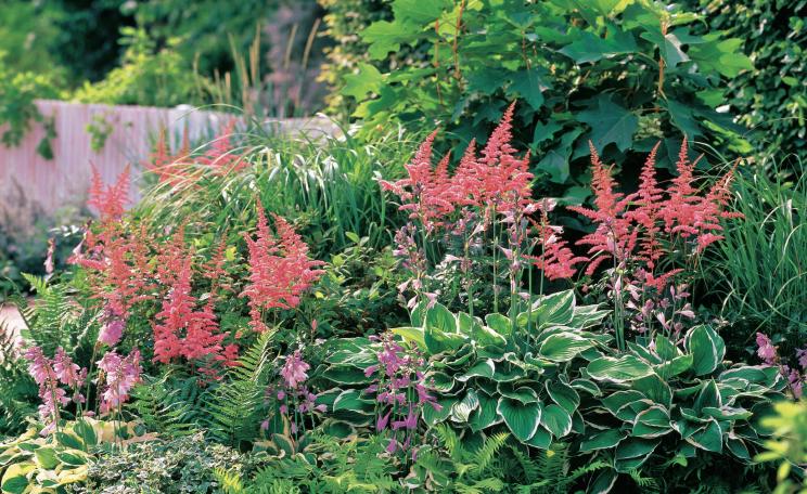 Prachtspiere Und Funkien Schattenpflanzen Garten Pflanzen