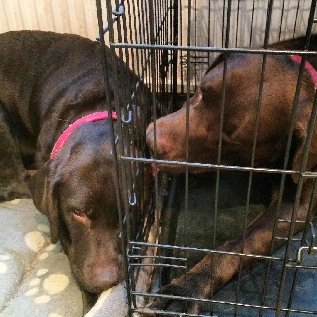 Forbidden love .. Farah is still laying next to Bracken while she is in season .. He's grooming her through the bars of his prison  by labradors4life