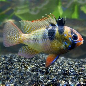 Apistograma ramirezi bleu l cichlids gbr aquarium - Poisson shark aquarium ...