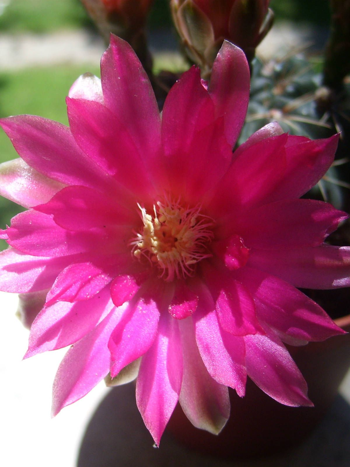 Gymnocalycium baldianum dwarf chin cactus plant characteristics gymnocalycium baldianum dwarf chin cactus is a small cactus with solitary flattened globose stem usually unbranched mightylinksfo Images