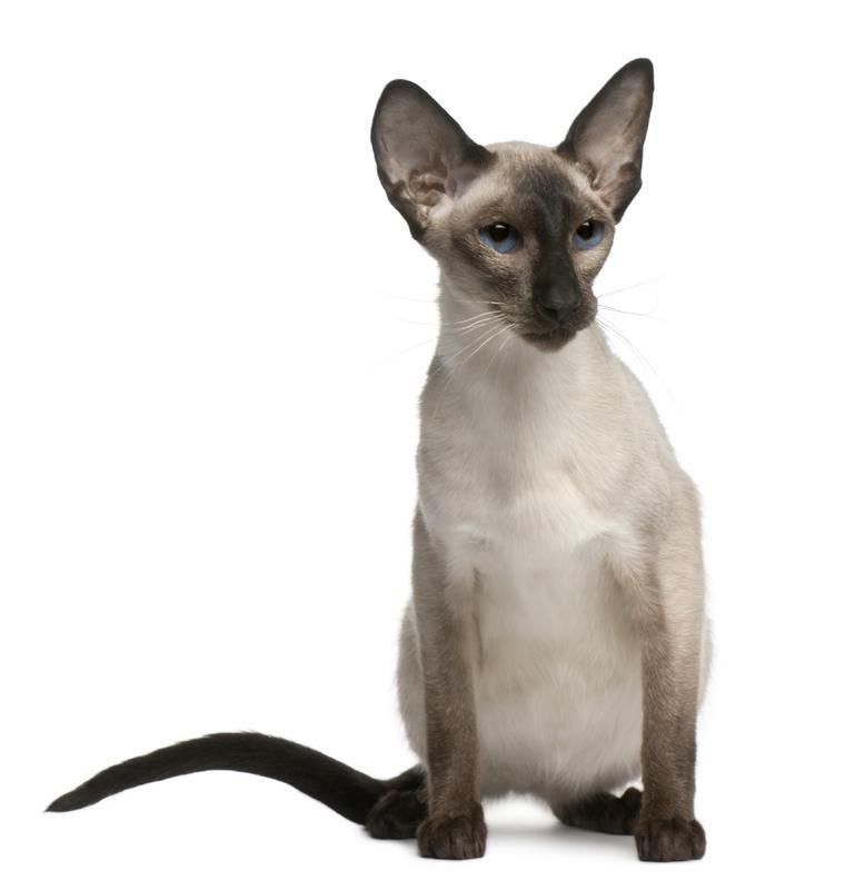 Balinese Cat Picture Balinese Cat Cats Animals