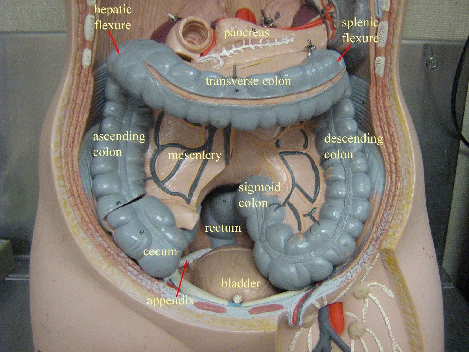 Abdominal Cavity No Liver Stomach Small Intestine Model Stem