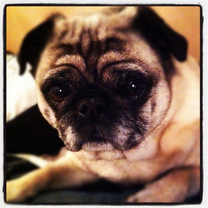My Pug Elliot ....